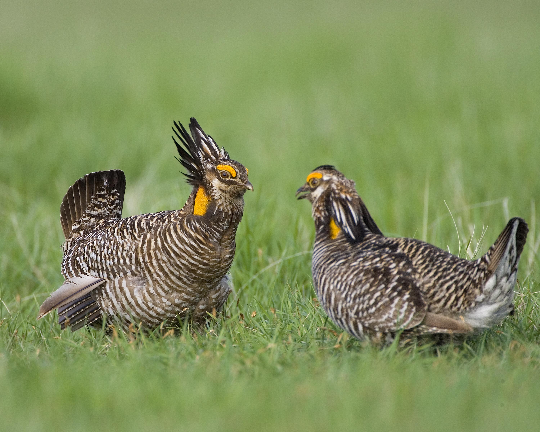 North Dakota upland bird harvest numbers take a hit