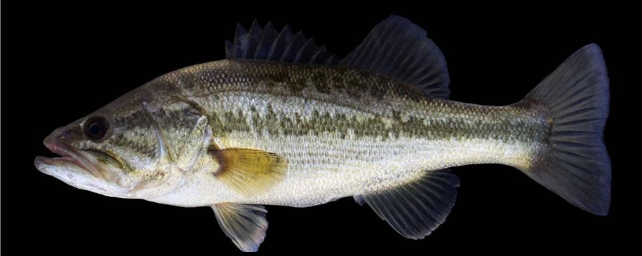 Largemouth Bass South Dakota Game Fish And Parks